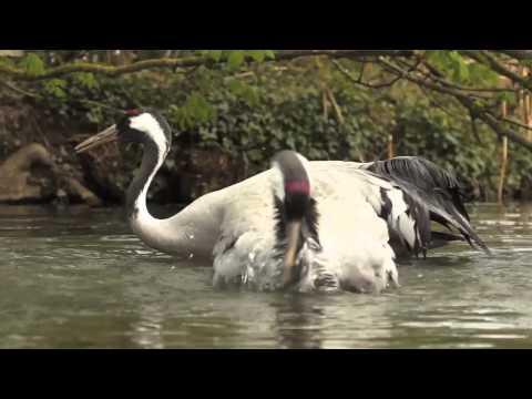 Het leven van de Kraanvogels op Le Bois aux Daims