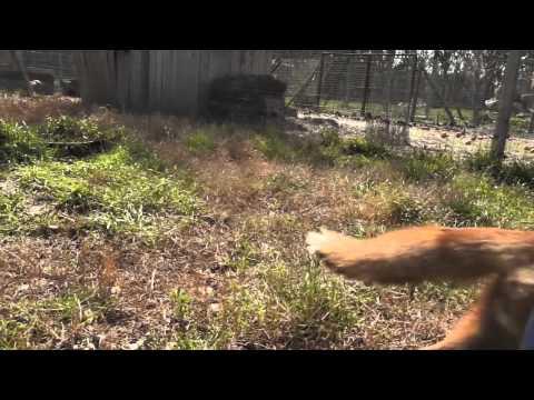 Vrolijke vossen op Le Bois aux Daims