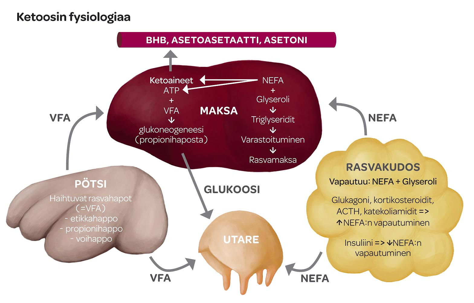 Kaavio ketoosin fysiologiasta
