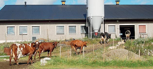 Lehmä suuntaavat navettaan