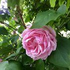 Terassimme kaunis ruusu