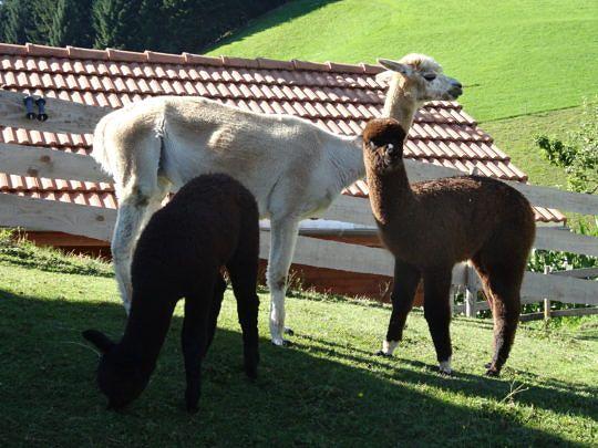 Alpakas sind gesellige und friedliche Tiere.