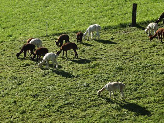 Alpakas eignen sich ideal für steiles Gelände und schonen den Boden.