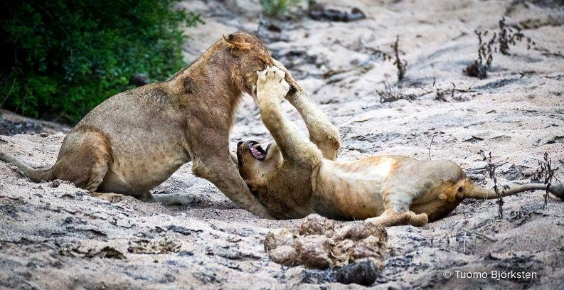 Leijonat kisailevat keskenään. Kruger, Etelä-Afrikka 2015.