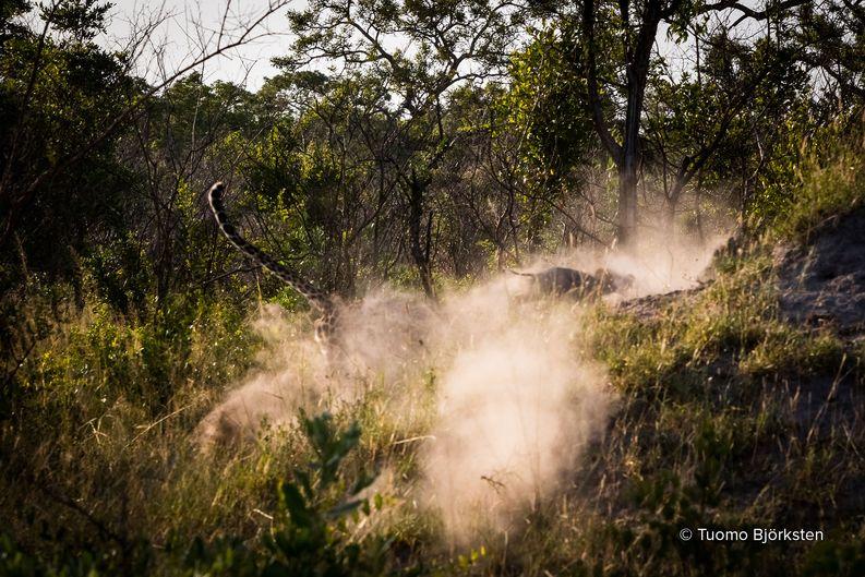 Leopardi nappaa villisian poikasen. Kruger, Etelä-Afrikka 2015.