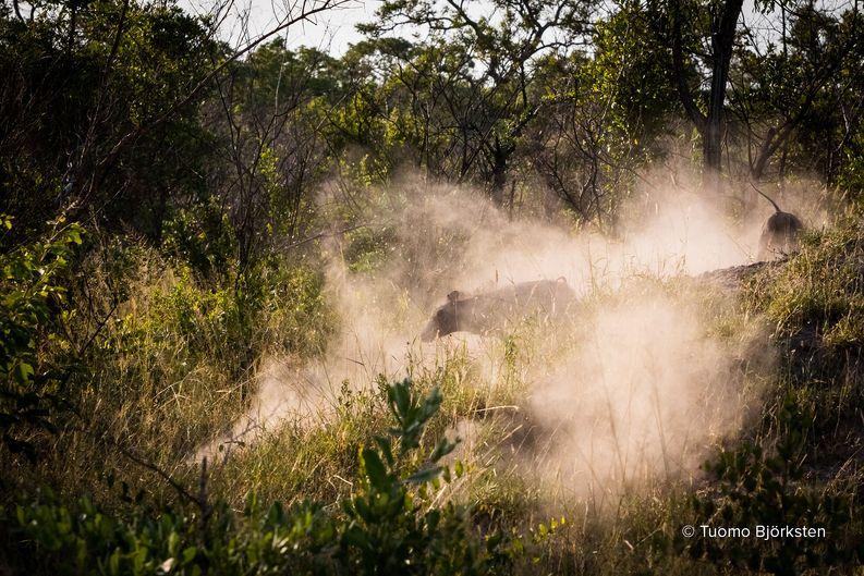 Muut villisiat pääsevät pakenemaan paikalta. Kruger, Etelä-Afrikka 2015.