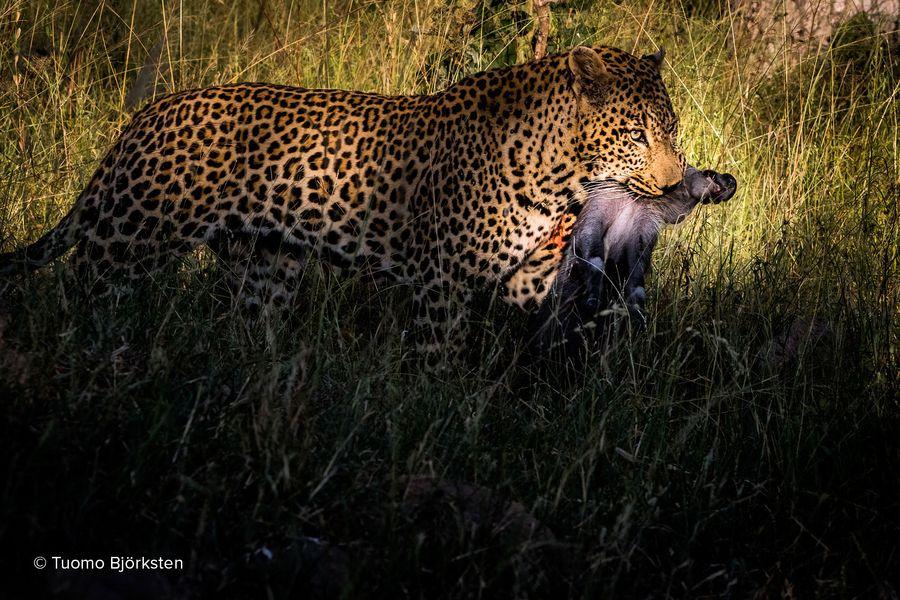 Leopardi saaliinsa kanssa. Kruger, Etelä-Afrikka 2015.