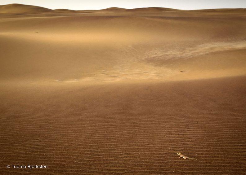Pieni gekko juoksee dyynillä. Swakopmund, Namibia 2012.