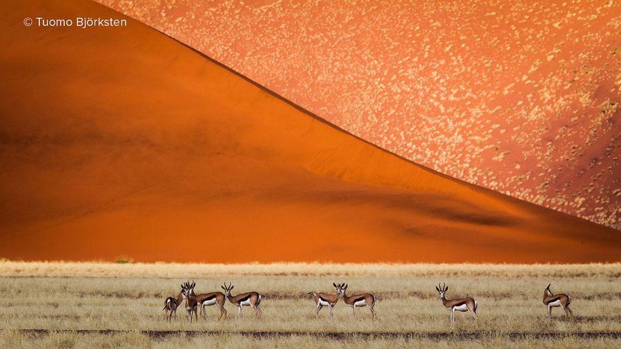 Hyppyantilooppeja dyynien edessä. Sossuvlei, Namibia 2012.
