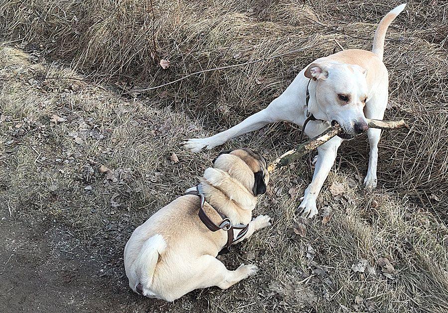 """Viileällä säällä Maukka on aktiivinen, leikkii ja lenkkeilee paljon toisen koiramme Maxin kanssa. Maukka tulisikin pitää """"timmissä kunnossa"""", koska ylipaino vain pahentaa hengitystieongelmia."""