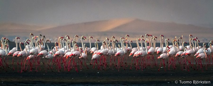 Flamingoparvi. Walvis Bay, Namibia 2012.