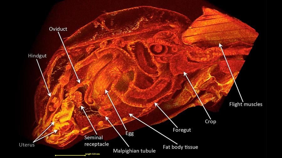 Naaraan anatomiaa. Kuva: Wolfner Lab