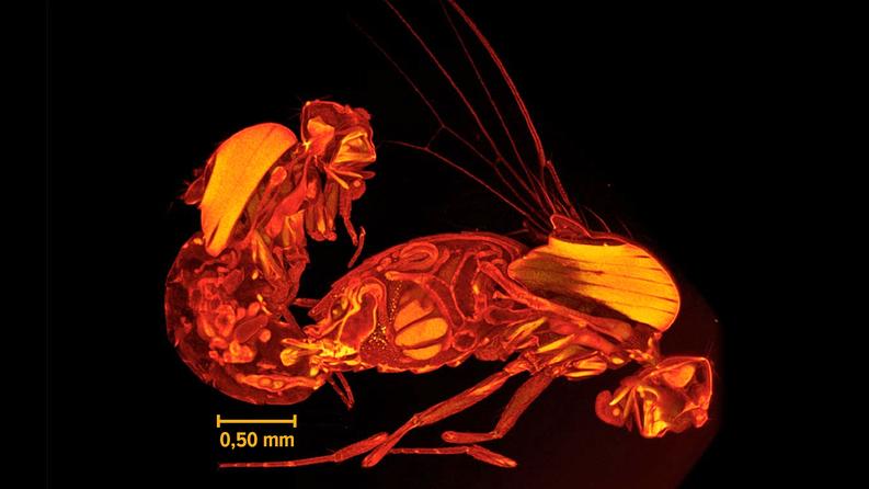Kärpäset saattavat pysyä tässä asennossa 10-20 minuuttia. Tässä nimenomaisessa kuvassa ja parittelussa tosin tarkkaa aikaa ei ilmoiteta, sillä kuva on luotu jäädytetyistä kärpäsistä. Kuva: Wolfner Lab