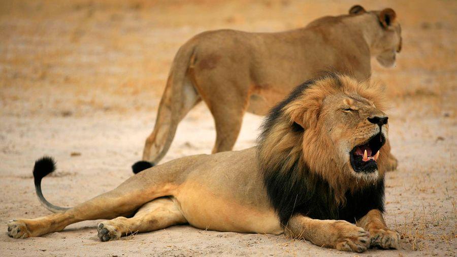 Cecil-leijona etualalla. Yhdysvaltalaismies maksoi reilut 50 000 dollaria tämän leijonan salametsästyksestä. Kuva: EPA.
