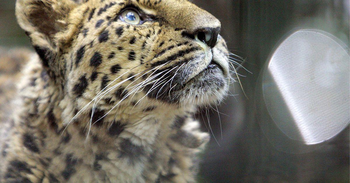 Hyviä uutisia maailman uhanalaisimmalta kissapedolta – määrä kaksinkertaistunut seitsemässä vuodessa