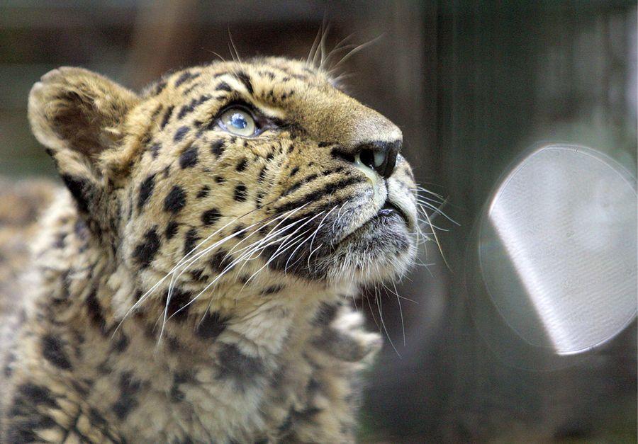 Amurinleopardi. EPA/Bernd Thissen