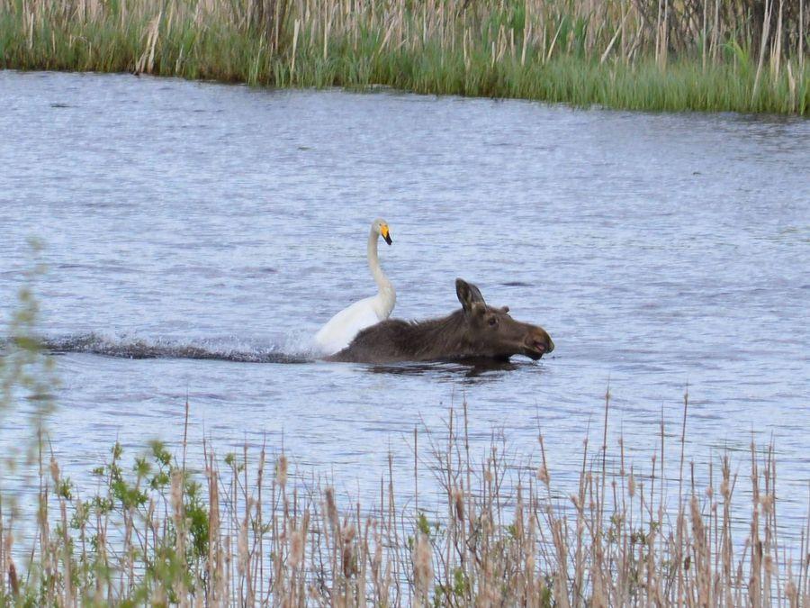 Joutsenen ja hirven kohtaaminen järvellä. Kuva: Riia Paasimaa