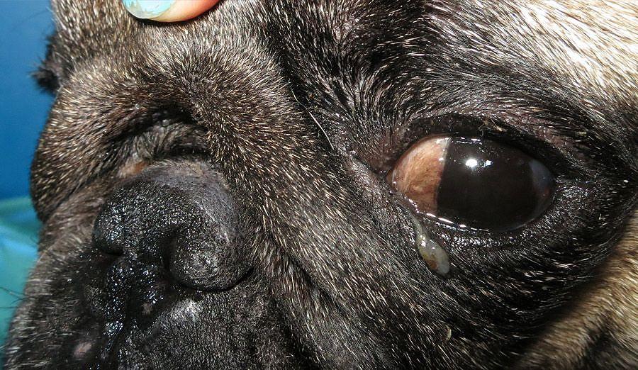 Maukka-mopsi ja vuotava silmä. Kuva: Riikka Kurki