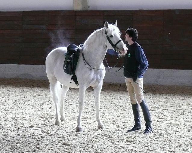 Lipitsan valkoisia hevosia perinteisessä maneesissa Sloveniassa 2010.