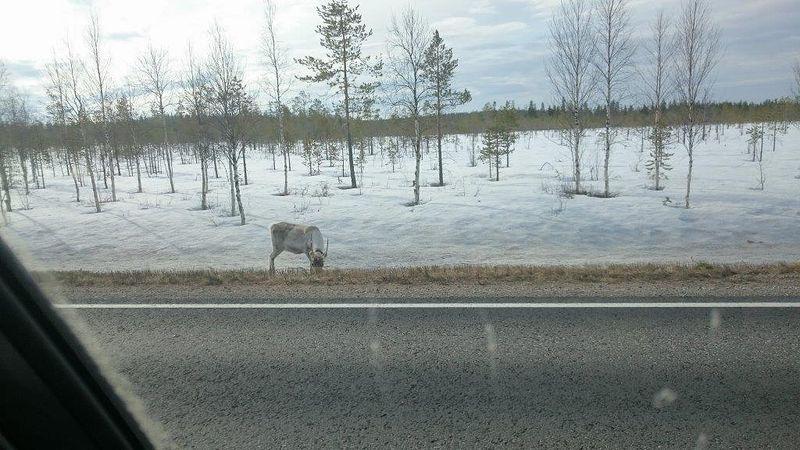 Kemijärvi-Vikajärvi maantien laidassa poro aterialla.