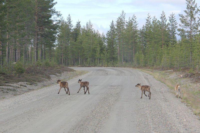 Neljä kevään 2015 poronvasaa suikoilemassa Naruskantiellä 4.6.2015.