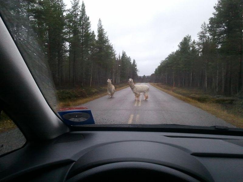 Lapin eläilajistoon vakituisesti kuulumattomia kulkijoita maantiellä.