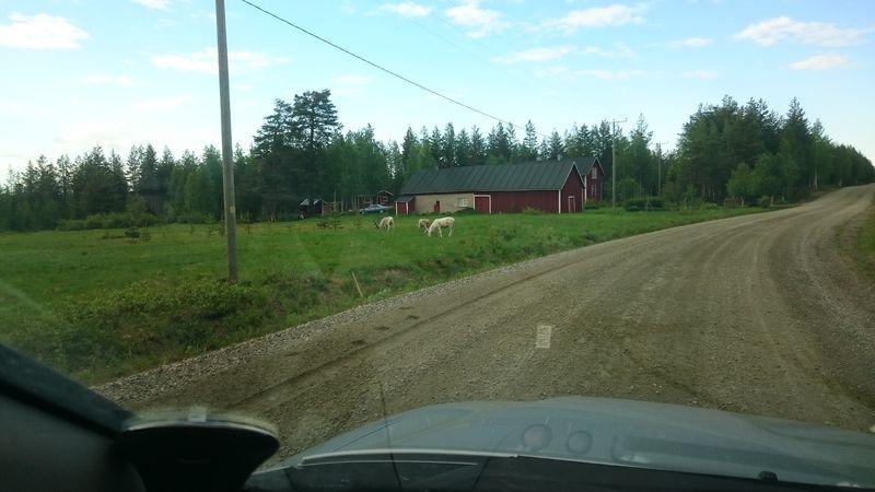 Porot kulkevat ruokamailleen usein tiellä, missä on vähemmän räkkää kuin metsissä.