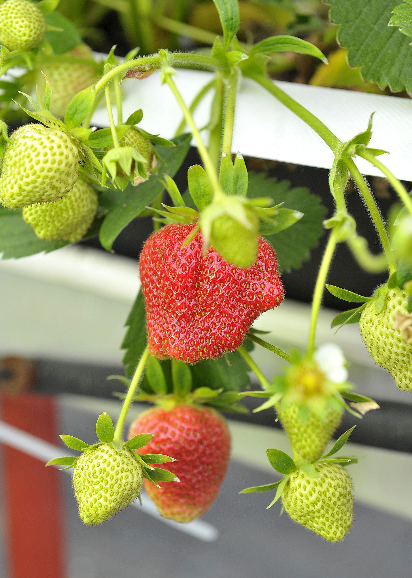 Ensimmäiset mansikat ovat jo kypsyneet. Pääsatokausi ajoittuneen kuitenkin vasta heinäkuun alkuun.