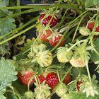 Tällä hetkellä marjat kypsyvät hurjaa vauhtia. Aamulla poimitaan yksi erä mansikoita, ja loput voivat olla kypsiä jo illalla.