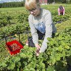 16-vuotias Tiia Valonen on yksi yhdestätoista poimijasta, joita on palkattu Kaunismäen tilalle.