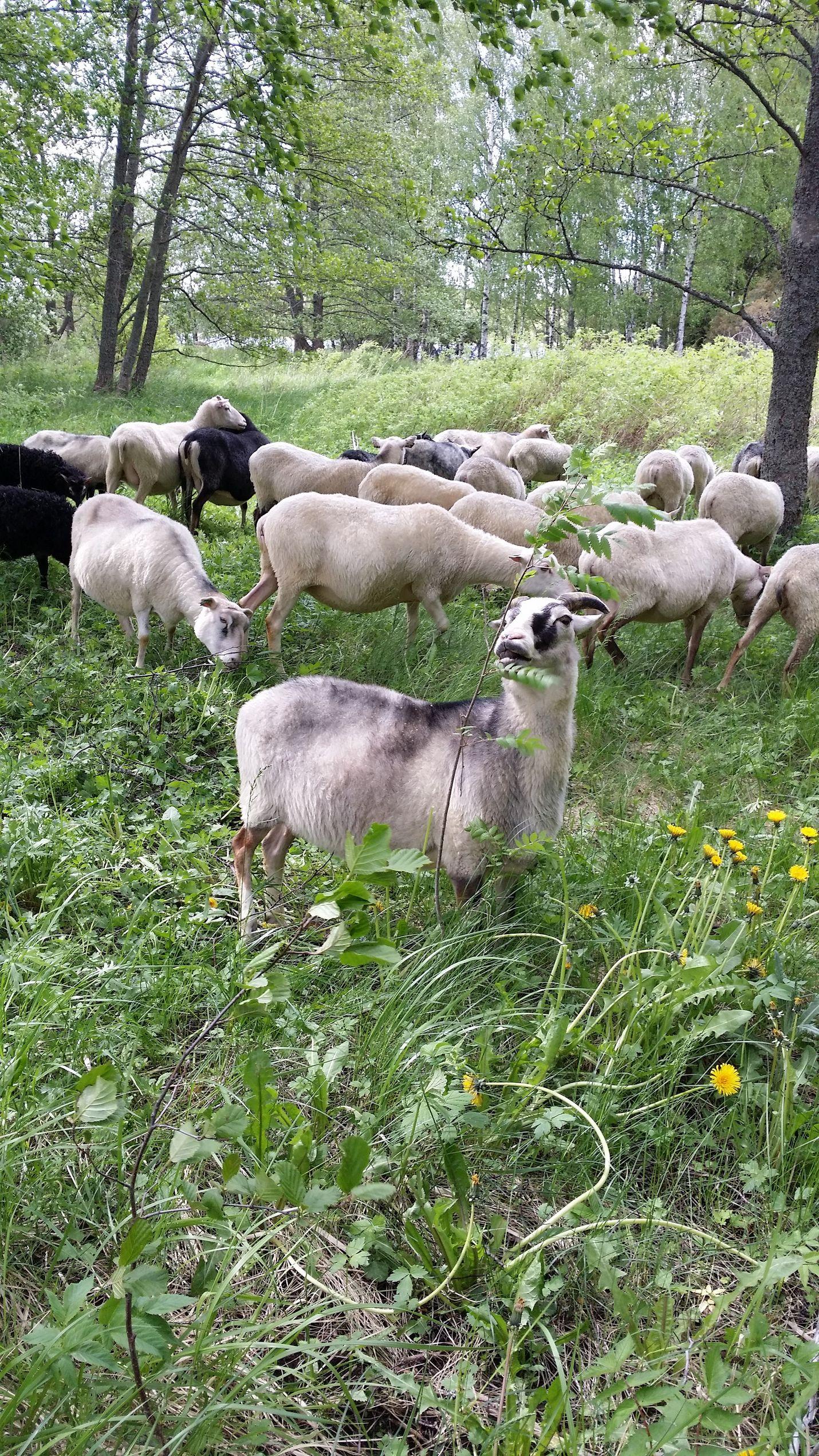 Reilut 30 lammasta laiduntaa kesän ajan Kaunissaaressa. Kuva: Hanna-Leena Juhola