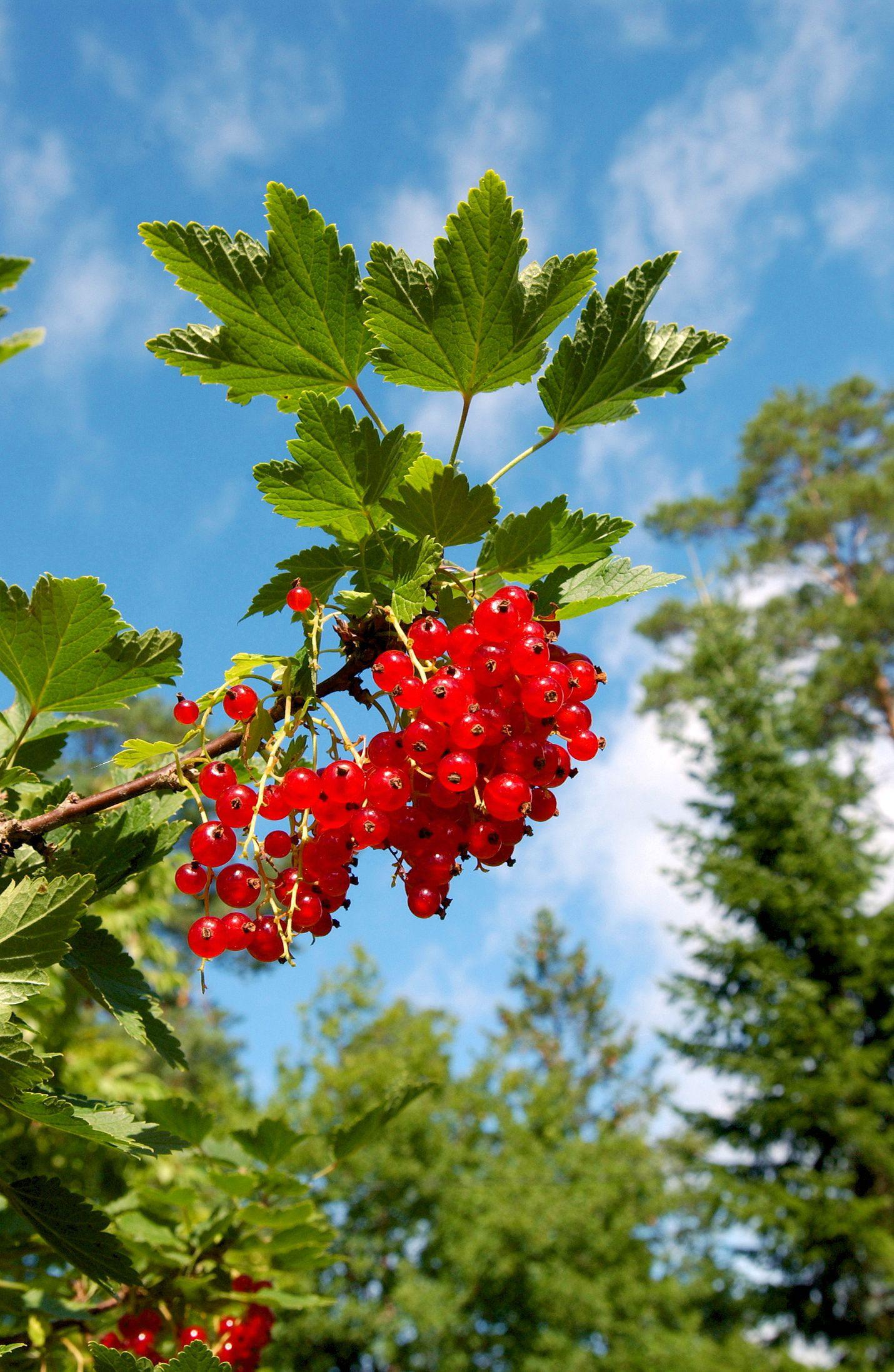 Viinimarja on suomalaisten viherpeukaloiden suosikki. Kuva: LS-arkisto/Esa Urhonen