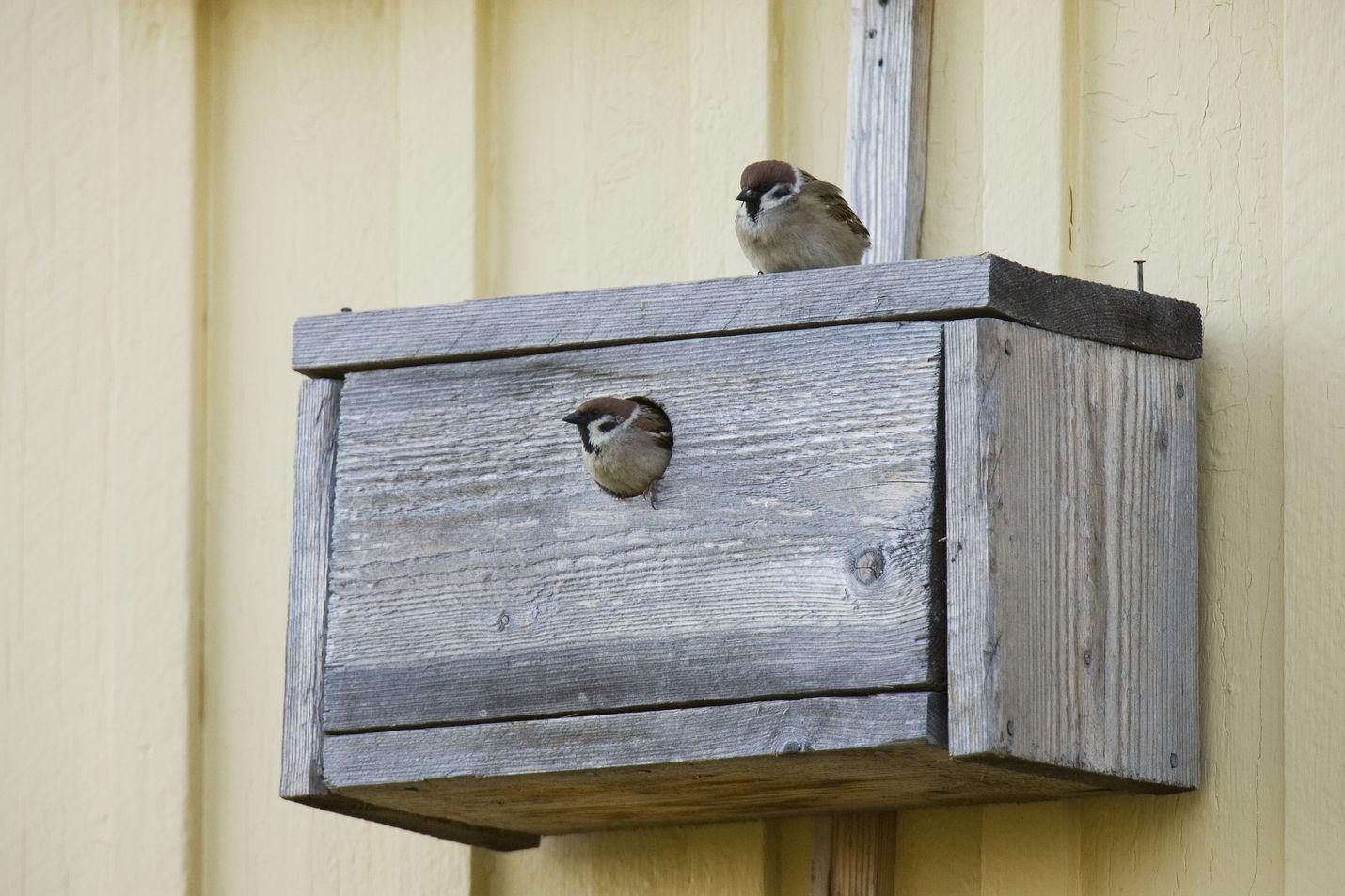 Pikkuvarpusia pesimässä. Kuva: Ari Ahlfors/BirdLife Suomi