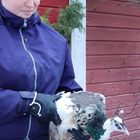 Anni Salmisen riikinkukkonaaras karkasi kanalasta ja päätyi korkean pihapuun latvaan, josta palokunta poimi kylmettyneen linnun nostolava-autolla.