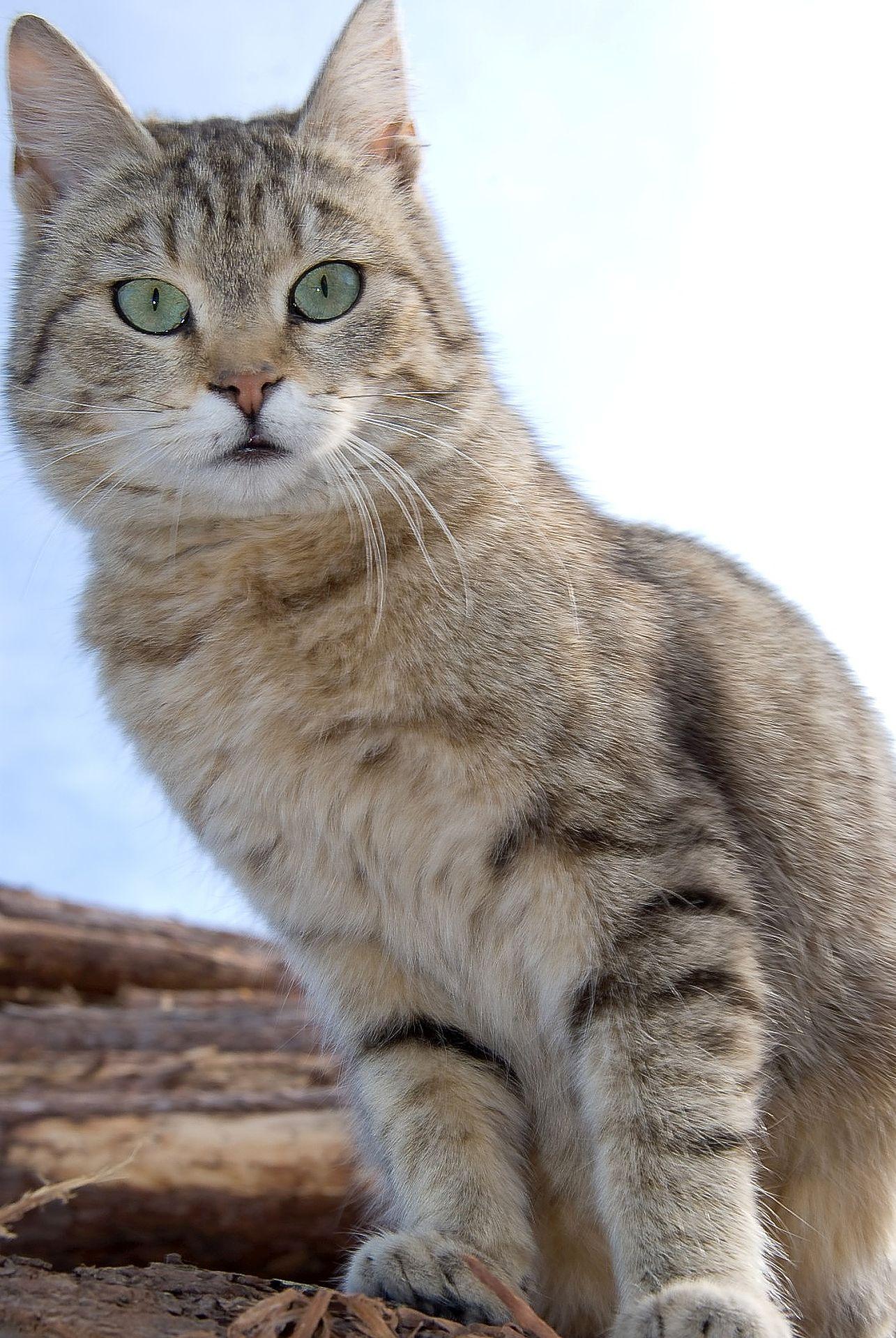 Suolinkainen Kissa