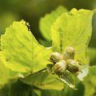 Kotimainen hasselpähkinä on vähän ulkomaista pienempi, mutta paljon maukkaampi. Kuva: Pekka Lehmuskallio