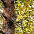 Jos osaa kuunnella, kuulee pyyn metsässä usein. Harvempi saa sen kuitenkaan kuvattua. Kuva: Ari Ammer