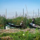Inle-järvi Myanmarissa on tullut suosituksi nähtävyydeksi siellä asuvasta Intha-kansasta, joiden tomaatti- ja kukkaviljelmät kelluvat järvessä. Kuva: Jyrki Saarni