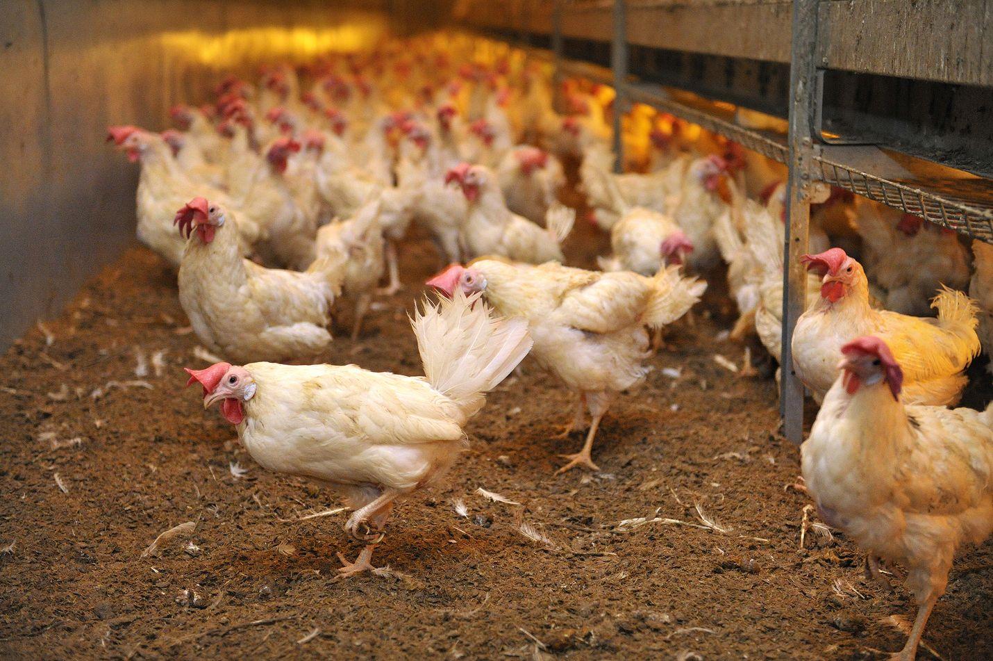 Kananmunien kulutus on viime vuodet kasvanut nopeasti eli kanoja pitääkin olla enemmän ilman, että kyse olisi ylituotannosta. Satamunan kananmunista 60 prosenttia on tuotettu lattiakanaloissa, kertoo toimitusjohtaja Toni Haavisto. Lattiakanaloissa kanat ovat vapaana, ja ne voivat kylpeä pehkussa. Kanoja saa olla enintään yhdeksän neliömetrillä. Kuiviketta on yleensä vähintään kolmasosa pinta-alasta.