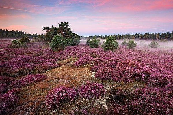 Blühende Heidefelder im September