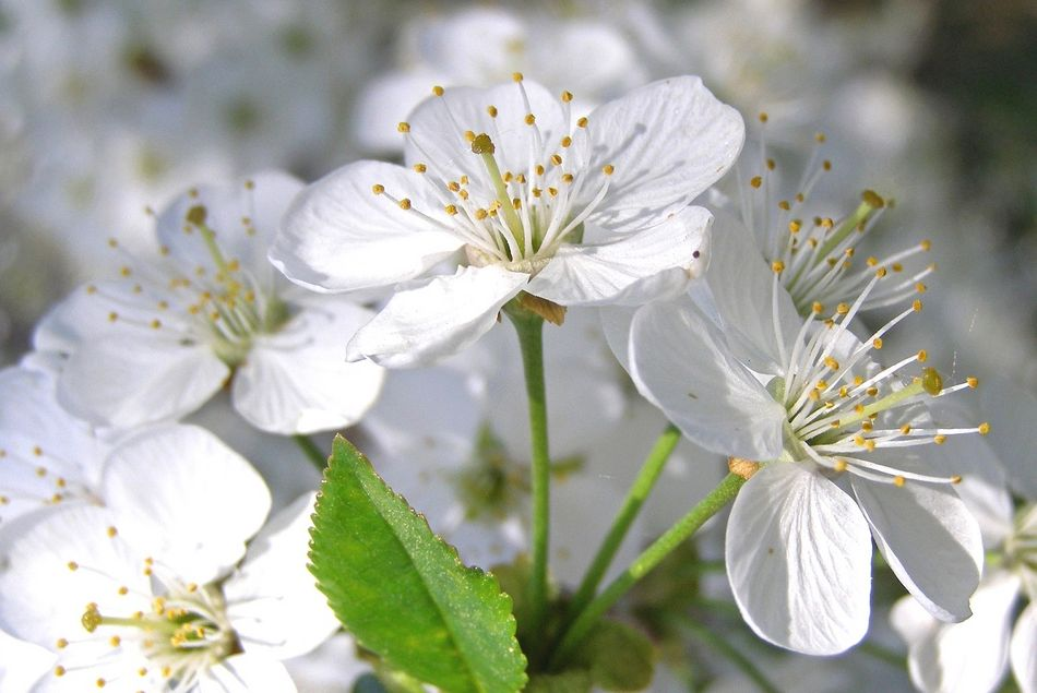 Im Frühling blüht der Schwarzdorn bei Center Parcs