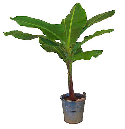 Plante tropicale interieur for Plantes tropicales exterieur