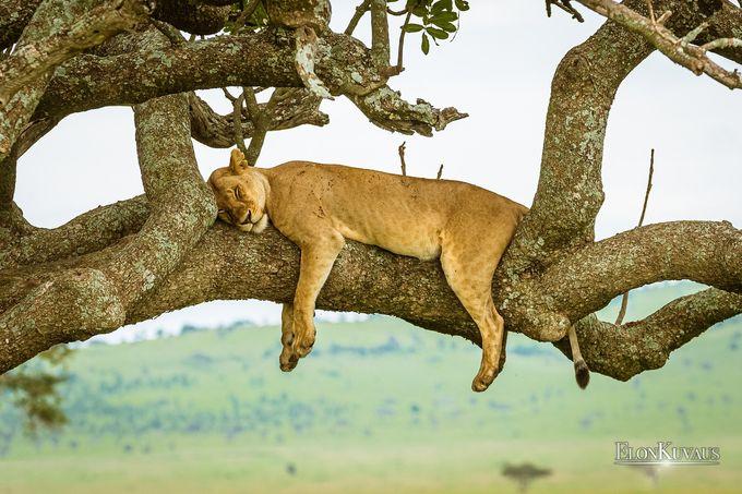 Leijona nukkumassa, ElonKuvaus