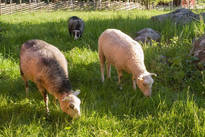 Kotiseutumuseo Muinan pihapiirissä laiduntaa lampaita