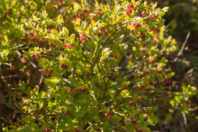 Leonpolulla mustikanvarpuja