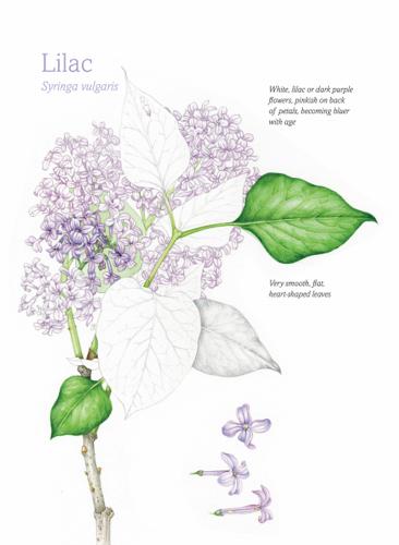 Lilac Meringue Pavlova