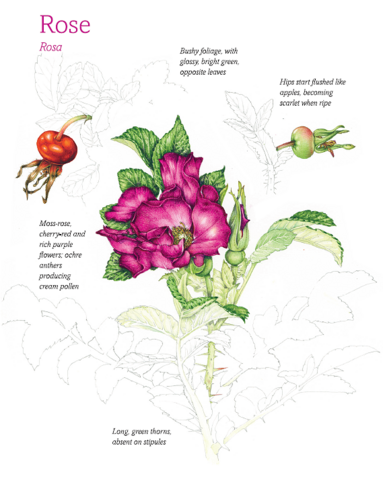 Rose-Petal and Orange Kulfi