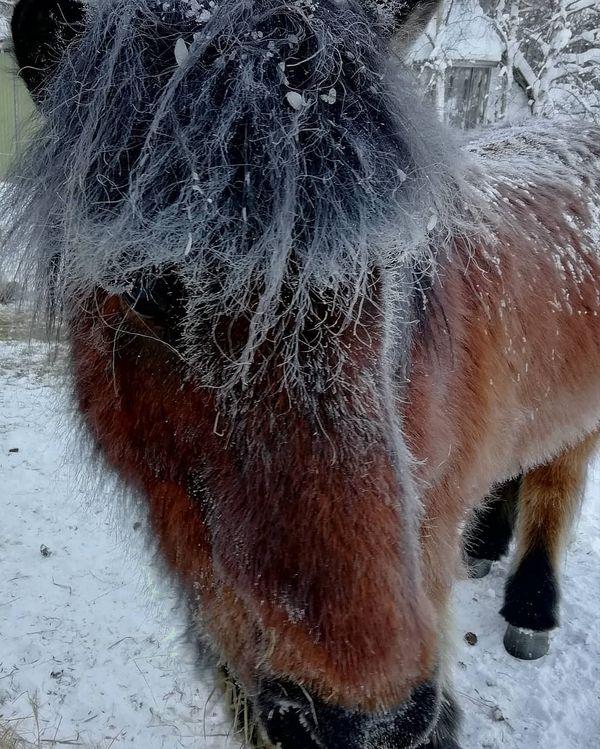 Kuuraheppoja kirpsakka tammikuun pakkasaamussa Pohjois-Karjalassa - 34°c. Onneksi ei tuule. Aamuaskareina hepoille lisäheinää ihan irtona. Hyvvää kuulemma on♥️ #heiskalanhoppala #tammikuunpakkaset #kuurahepat #lisäheinää #talviontäällä #talvionkaunis #issikka #islanninhevonen #suomenhevonen #icelandichorse #finishhorse #pihattoelämää #pihattohevoset #pohjoiskarjala #itäsuomi #liperi #tammikuu2019 #visitkarelia #visitfinland