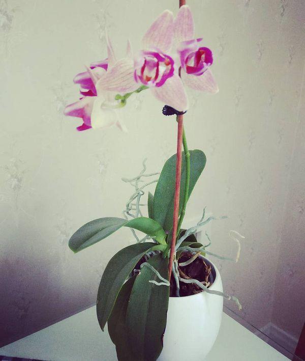 Meillä viihtyy orkideakin 😍  Vuosia ikkunallamme viihtynyt orkidea kukkii useamman kerran vuodessa ja aina näin kauniisti. 🌺  #orkidea #kukka #vanhatalo #hortonomi #kahvila #kauppaneuvoksenkahvila #taitokortteli #joensuu #pohjoiskarjala #visitkarelia_finland