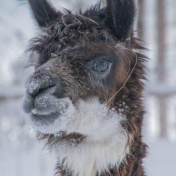 #alpaca#alpaka#alpakka#kitee#kiteezoo#visitfinland#naturalpark#forest#winter#snow#lumi#talvi#luonto#luontopolku#lomalle#альпака#паяринхови#зоопарккитее#финляндия#животные#дикаяприрода#спустилсясгор Photo kihlatonphoto